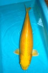 Aussiekoi W A Pty Ltd Koi Pond Equipment Perth Australia